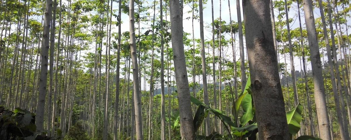Jual Bibit Pohon Jabon