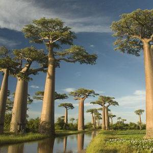 Jual Tanaman Hias Pohon Baobab