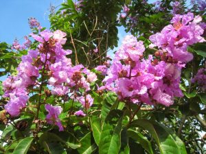 Jual Bibit Tanaman Hias Bunga Bungur