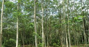 Jual Bibit Pohon Sengon Solomon