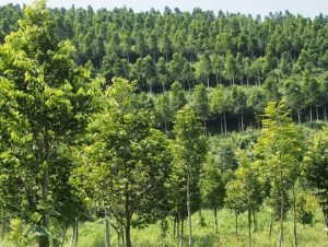 Jual Bibit Pohon Gaharu