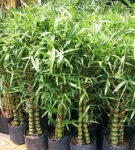 Jual Tanaman Bambu Hias