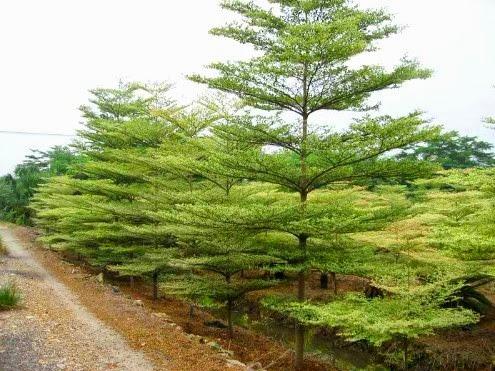 Jual Bibit Pohon Ketapang Kencana