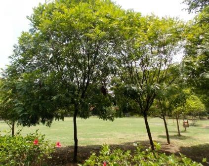 Jual Bibit & Pohon Kiara Payung