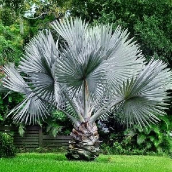 Jual Pohon Palem Bismarkia Silver