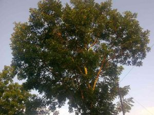 Jual Bibit Pohon Mahoni