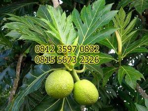 Jual Bibit Pohon Sukun
