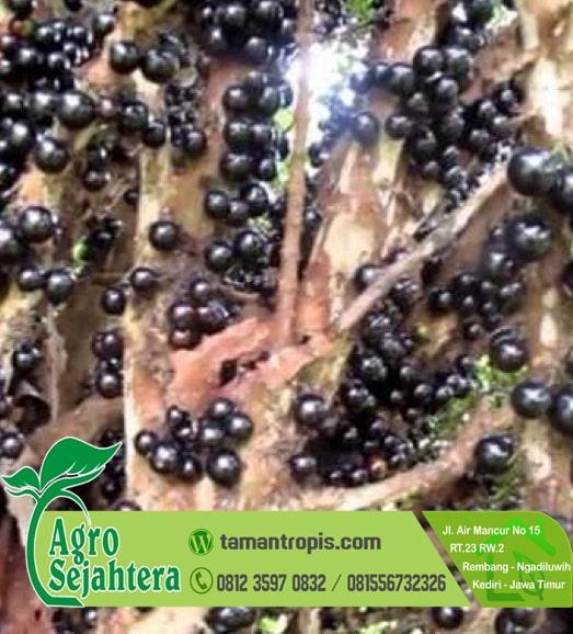 Jual Bibit Anggur Pohon