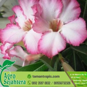 Jual Bibit Bunga Adenium Pink