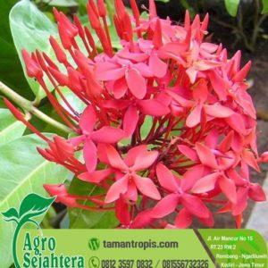 Jual Bibit Bunga Asoka Merah