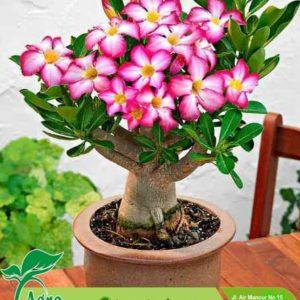 Jual Bibit Bunga Pentris