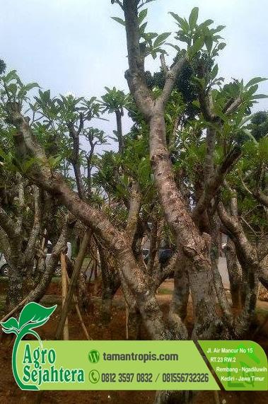 Jual Bibit Pohon Kamboja Fosil Super