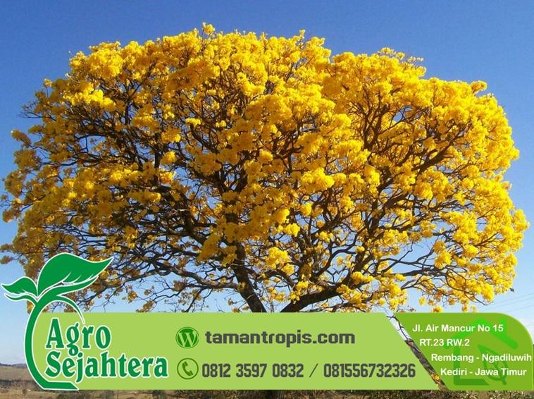 Jual Bibit Tabebuya Kuning