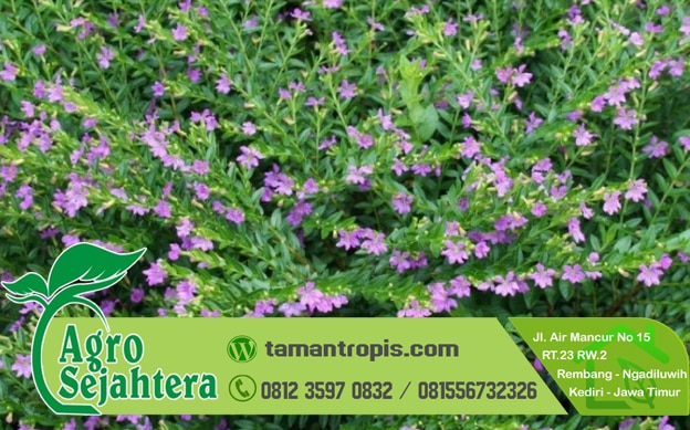 Jual Bibit tanaman hias bunga taiwan 1 - Jenis Jenis Tanaman Hias Bunga