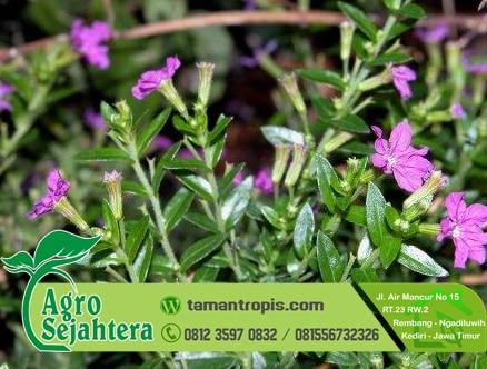 Jual Bibit Tanaman Hias Bunga Taiwan