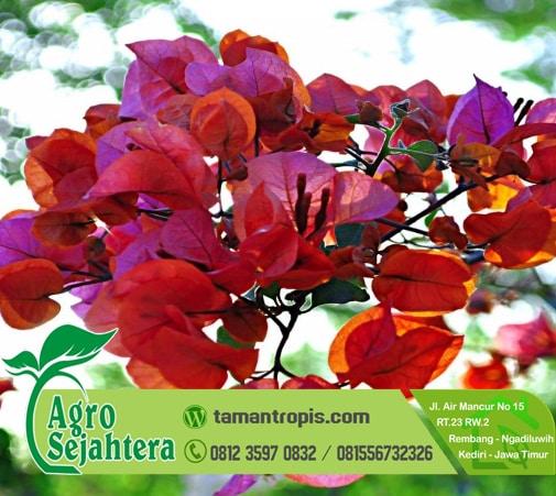 Jual Tanaman Hias Bunga Bougenville Merah