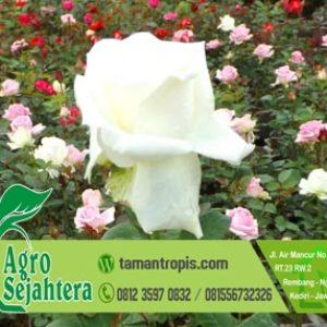 Jual Tanaman Hias Bunga Mawar