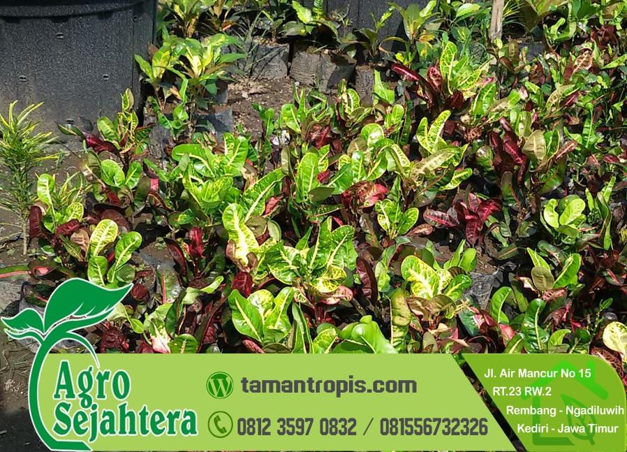 Jual Tanaman Hias Bunga Puring Jakarta