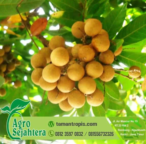 Jual Bibit Pohon Kelengkeng Sudah Berbuah