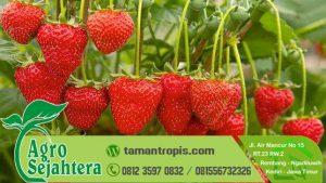 Jual Bibit Stawberry