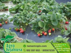 Jual Bibit Stawberry