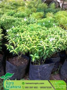 Jual Bibit Rombusa Mini