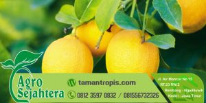 Jual Bibit Jeruk Lemon