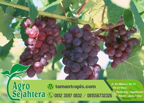 Jual Bibit Anggur