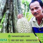 Jual Bibit Durian Bawor asli banyuwangi