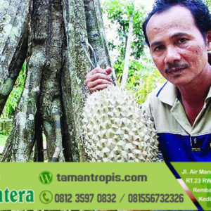 Harga Bibit Durian Bawor