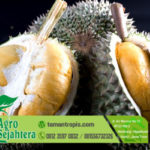 Jual Bibit Durian Unggul Duri Hitam dari Malaysia
