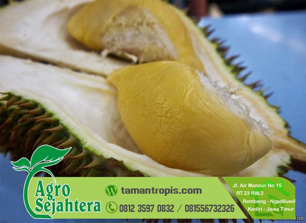 Jual Bibit Durian Sultan / D 24 Malaysia