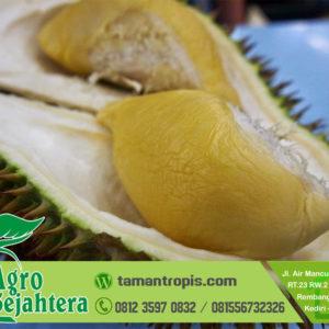 Harga Bibit Durian Musang King