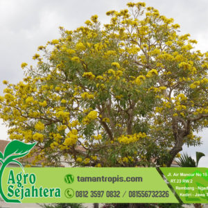 Harga Bunga Tabebuya