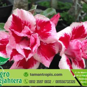 Jual Bunga Adenium
