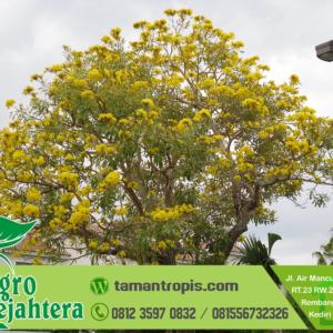 Harga Pohon Tabebuya Besar