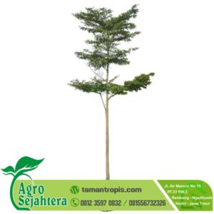 Jual Pohon Ketapang Kencana