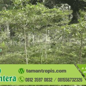 Harga Pohon Ketapang Kencana Tinggi 2 Meter