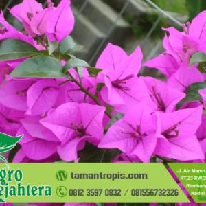 Harga Tanaman Hias Bunga Kertas