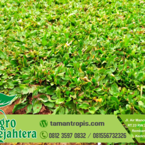 Jual Rumput Gajah Mini Tangerang