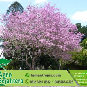 Jual Pohon Tabebuya Pink