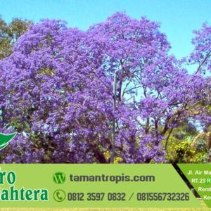 Jual Pohon Tabebuya Ungu