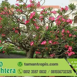 Harga Pohon Kamboja Merah