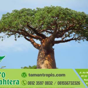 Harga Pohon Baobab