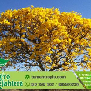 Jual Pohon Tabebuya Kuning