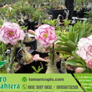 Harga Bunga Adenium