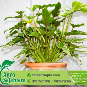 Jual Philodendron Monstera