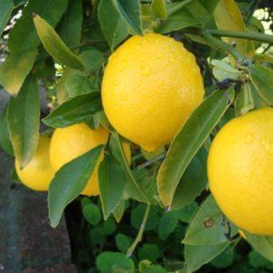Jual Bibit Jeruk Lemon Amerika